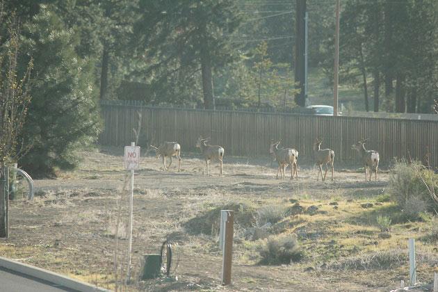 Deer walking through neighborhood