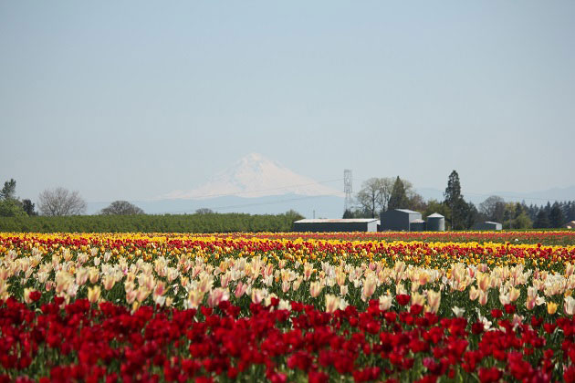 Tulip Farm near Mt. Hood