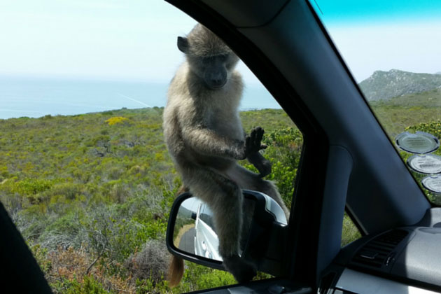 Baby baboon on rear view mirror