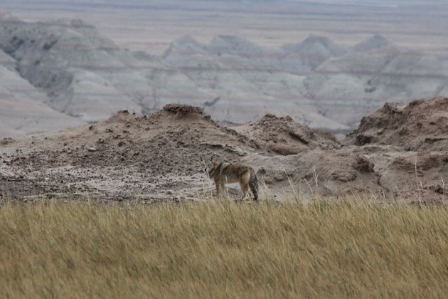 Coyote in Badlands