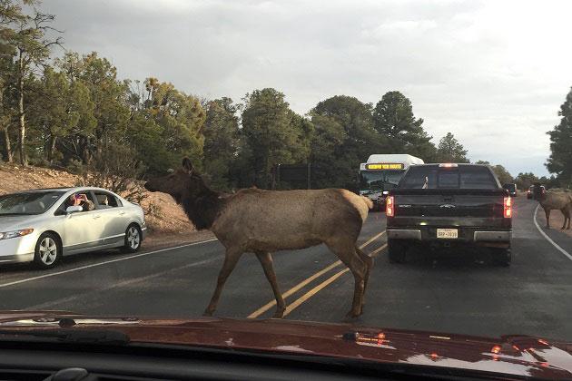 Grand Canyon Mule Deer Crossing Street