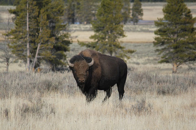 American Bison at Yellowstone